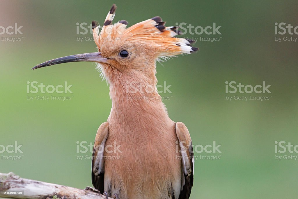 Portrait birds with tufted stock photo