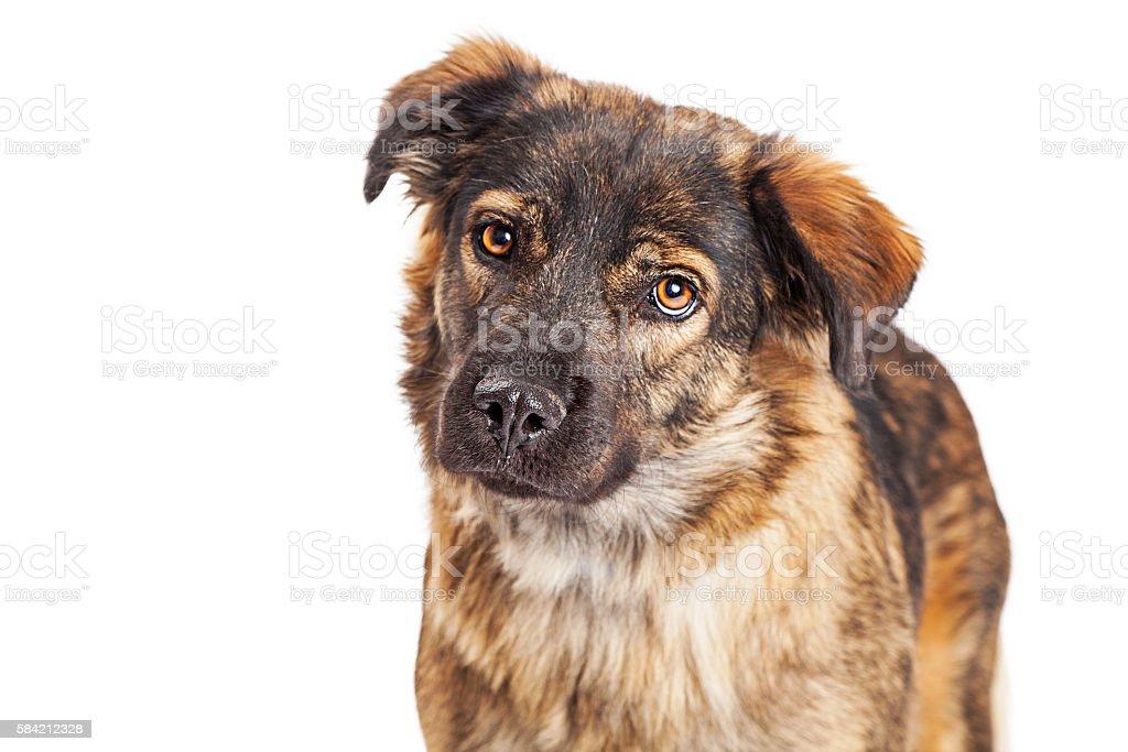 Portrait Brown and Black Shepherd Crossbreed Dog stock photo