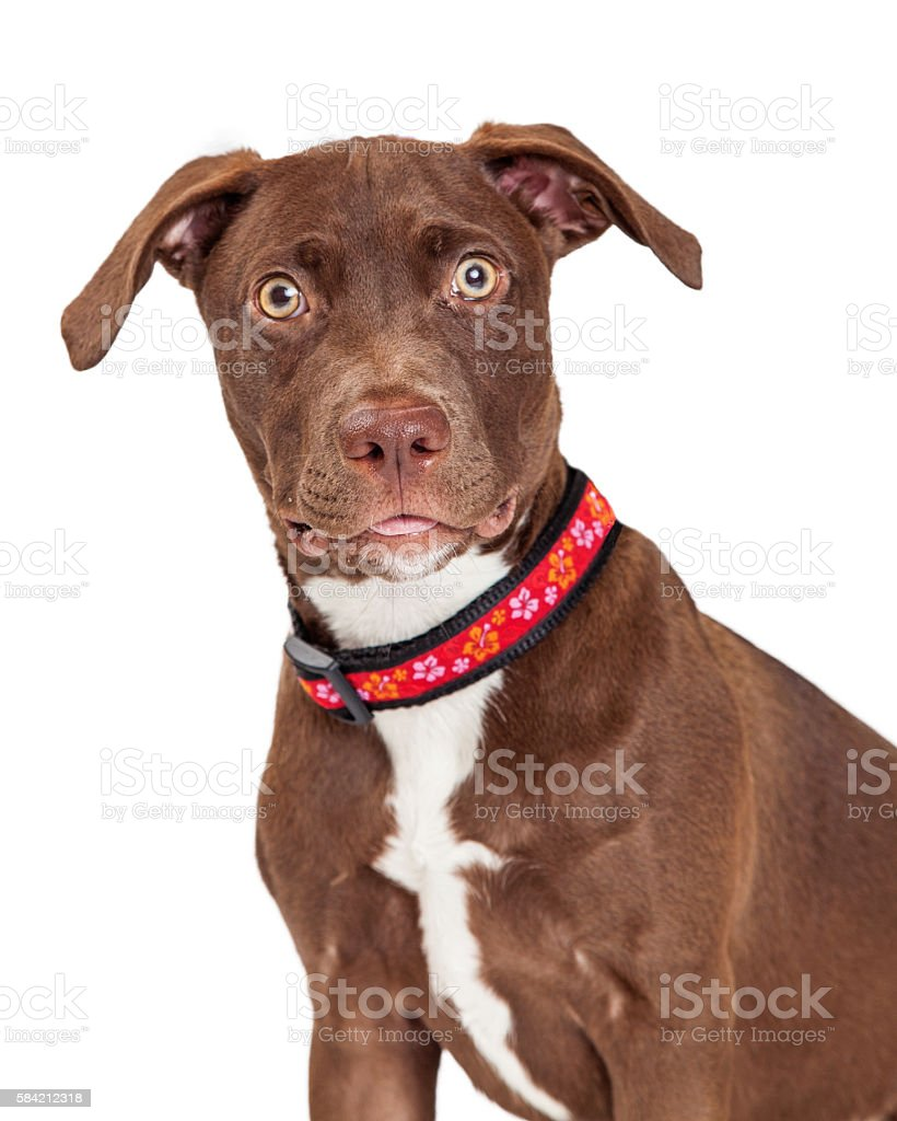 Portrait Brown Crossbreed Dog Looking Forward stock photo