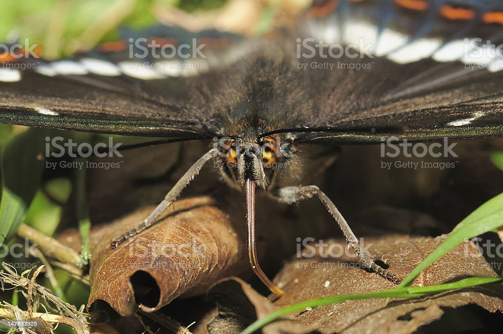 portrait butterfly royalty-free stock photo
