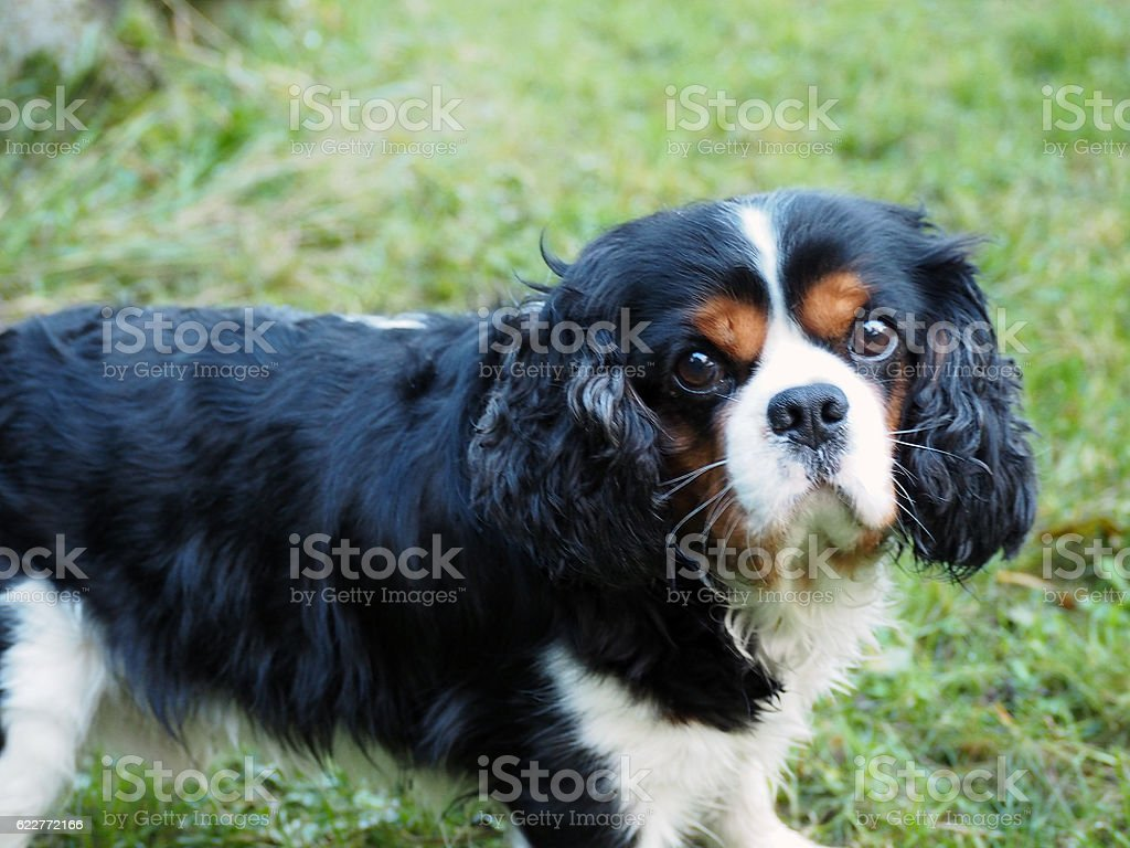Portrait Cavalier King Charles stock photo