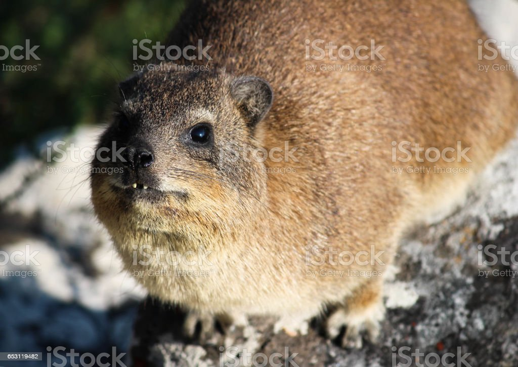 Portrait closeup of a cute furry rock hyrax - Dassie stock photo