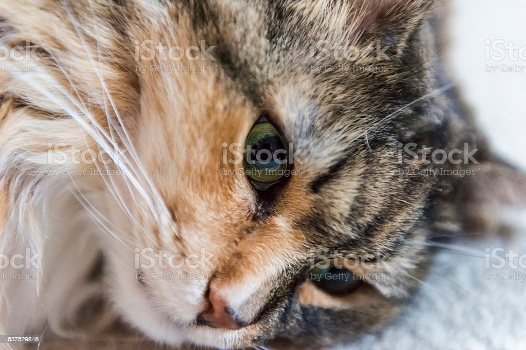 Portrait closeup of calico tabby maine coon cat lying down stock photo