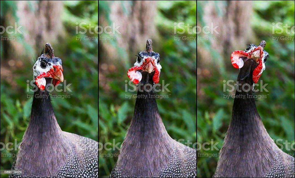 Portrait Collage of Helmeted Guineafowl Numidia Meleagris Numidi stock photo
