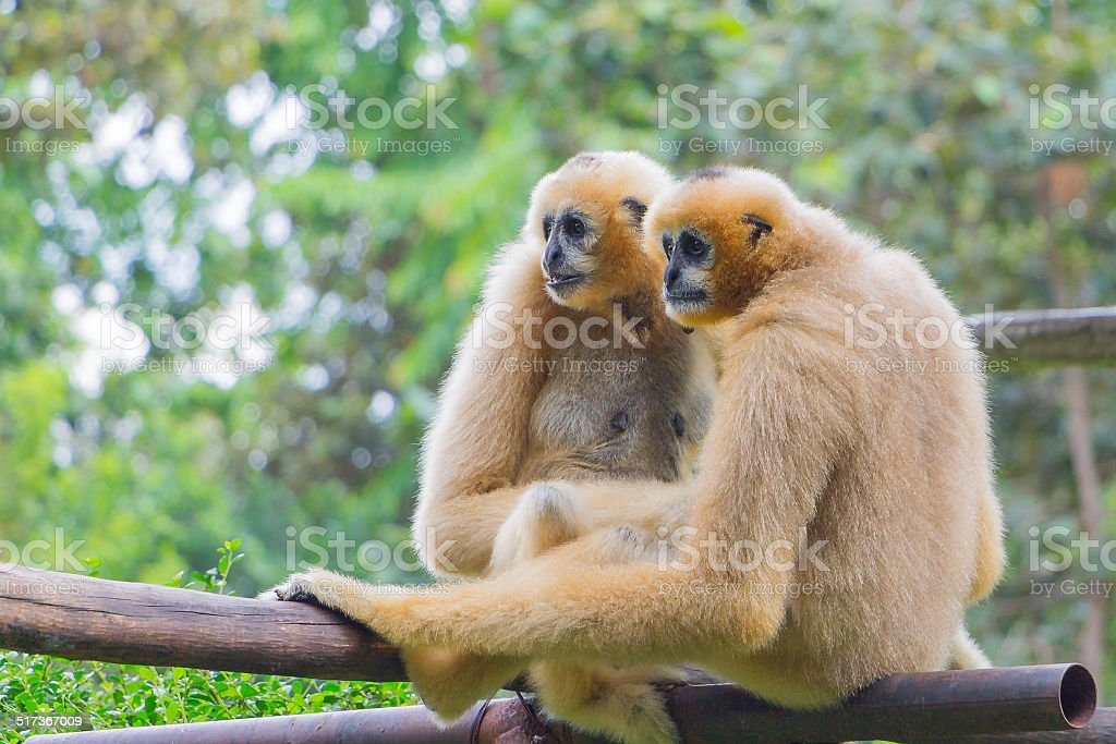 Portrait  couple of white gibbon in the jungle stock photo