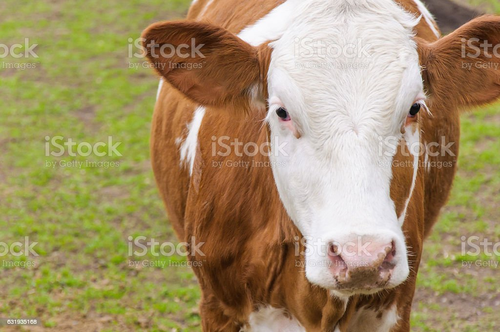 Portrait cow on meadow stock photo