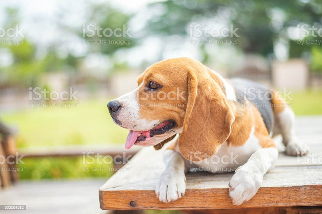 Portrait cute beagle puppy dog looking up stock photo