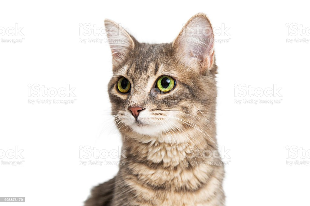 Portrait Cute Brown and Gray Kitty stock photo