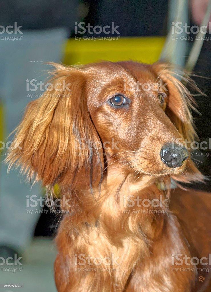 Portrait Dachshund breed dog stock photo