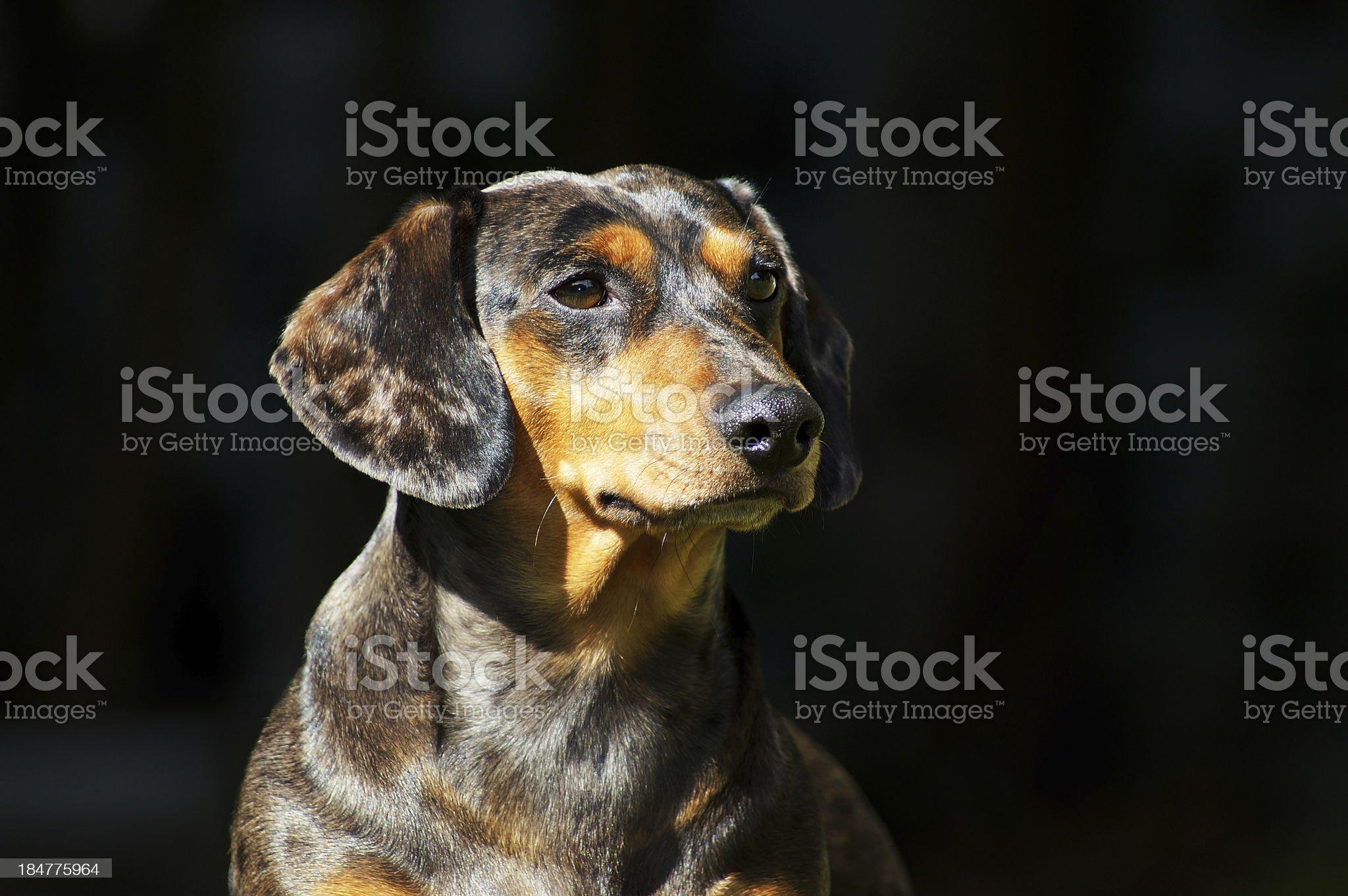 Portrait Dachshund dog royalty-free stock photo