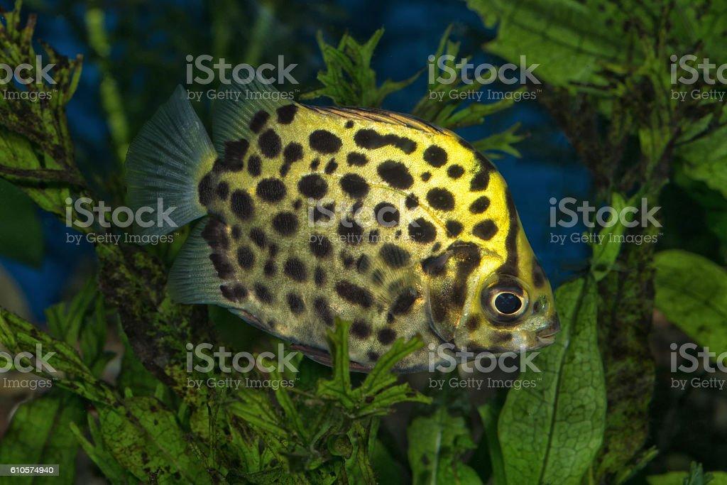 Portrait (Scatophagus argus) fish in aquarium stock photo