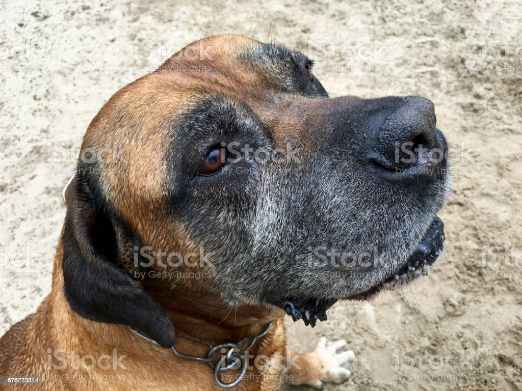 Portrait from a Boerboel, south african mastiff stock photo