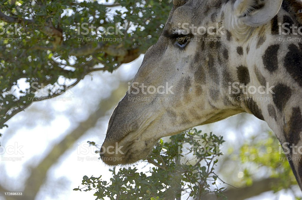 Portrait from a giraffe in malamala royalty-free stock photo