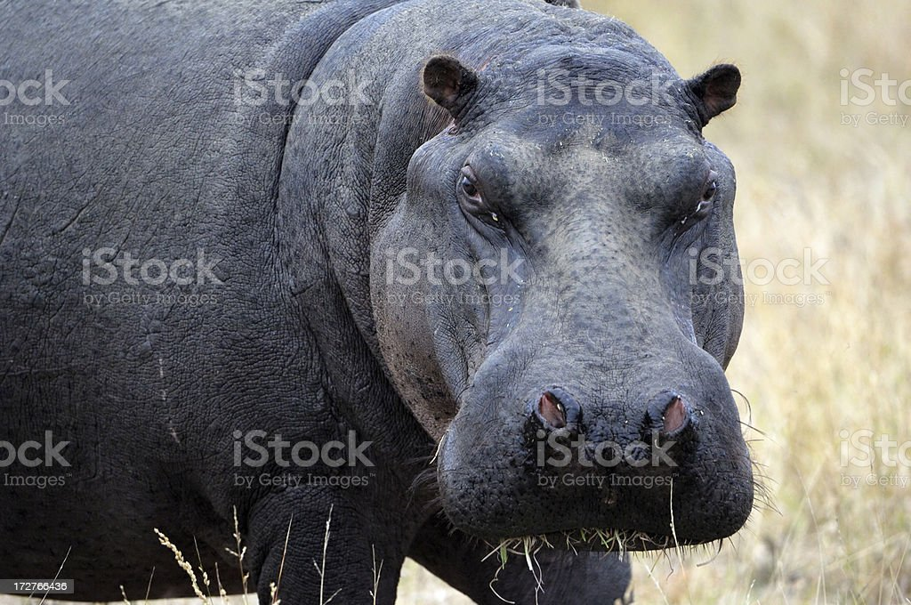 Portrait from a hippo stock photo