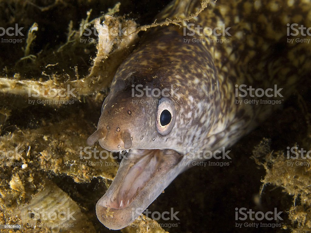 portrait from a mediterranean moray stock photo