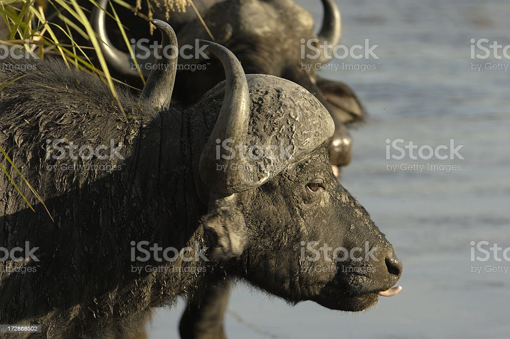 Portrait from an african buffalo stock photo
