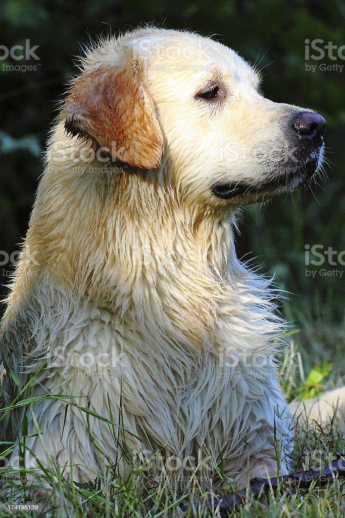 Portrait Golden Retriever royalty-free stock photo
