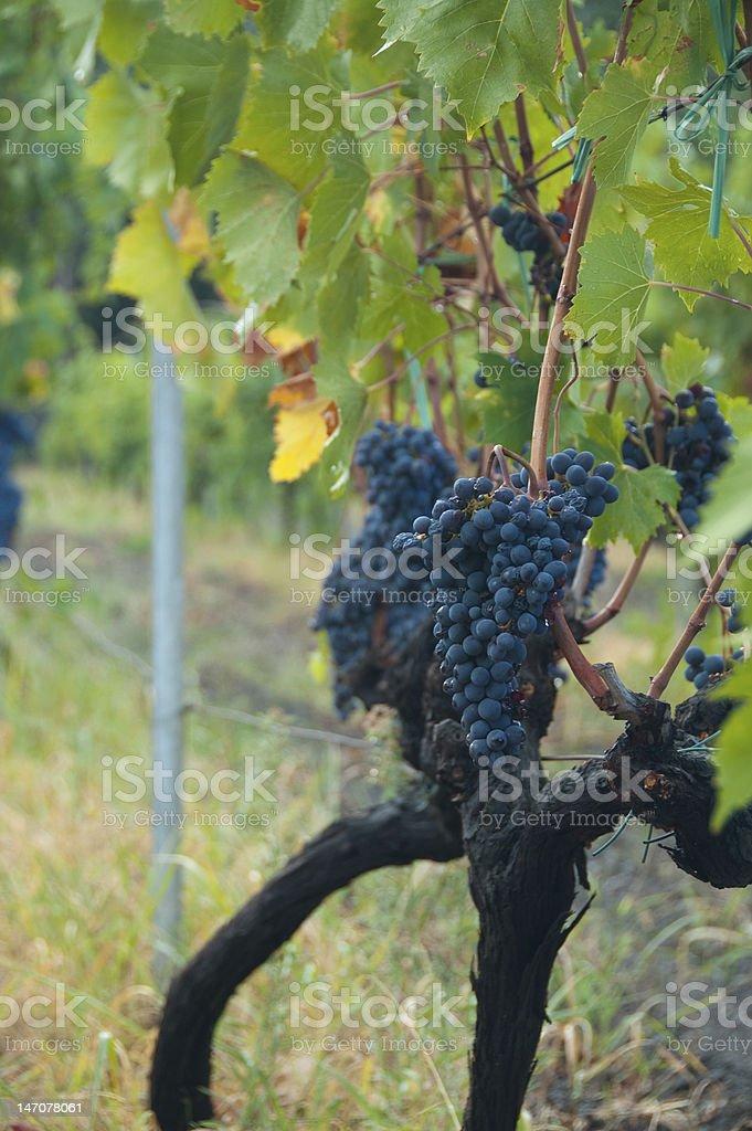 Portrait Grapes stock photo
