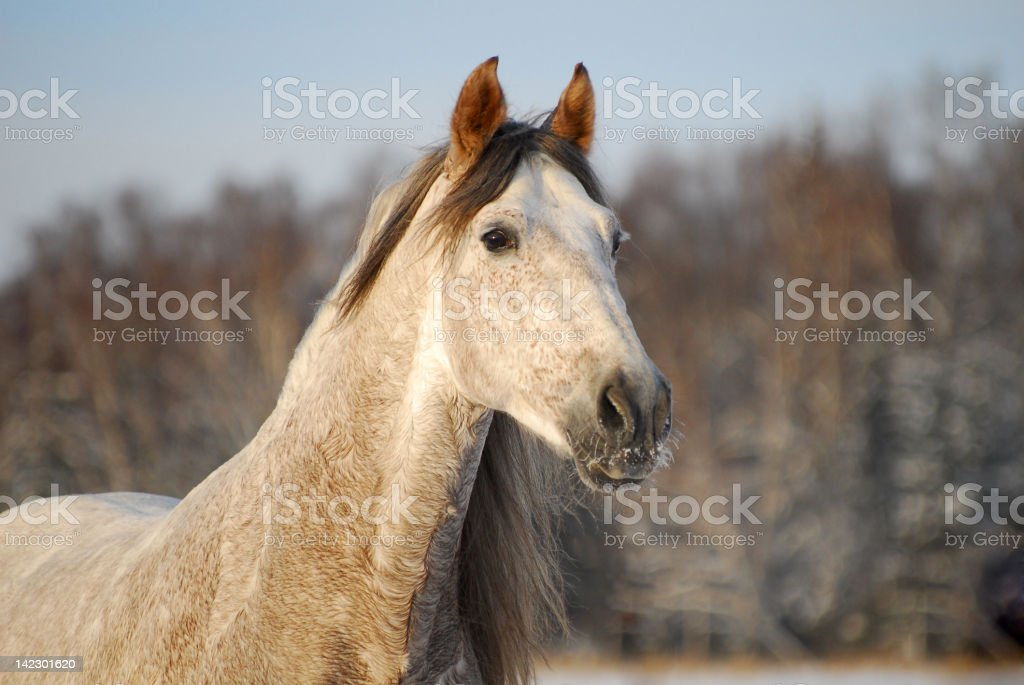 Portrait grey andalusian horse stock photo