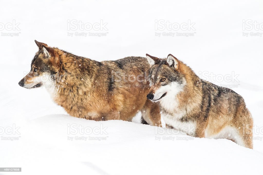 portrait grey wolf in the snow stock photo