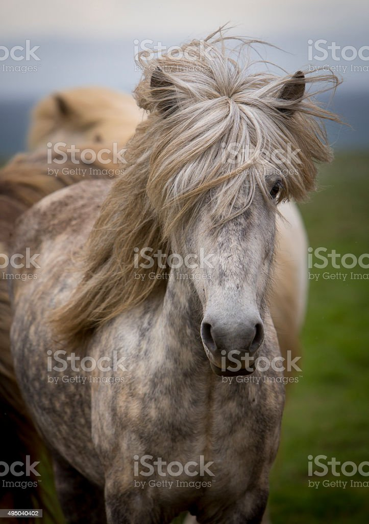 portrait iceland horse stock photo
