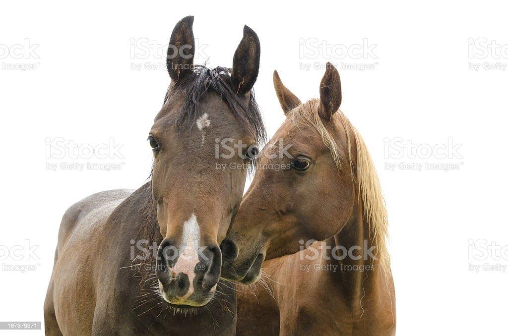 portrait if horses - isolated on white royalty-free stock photo