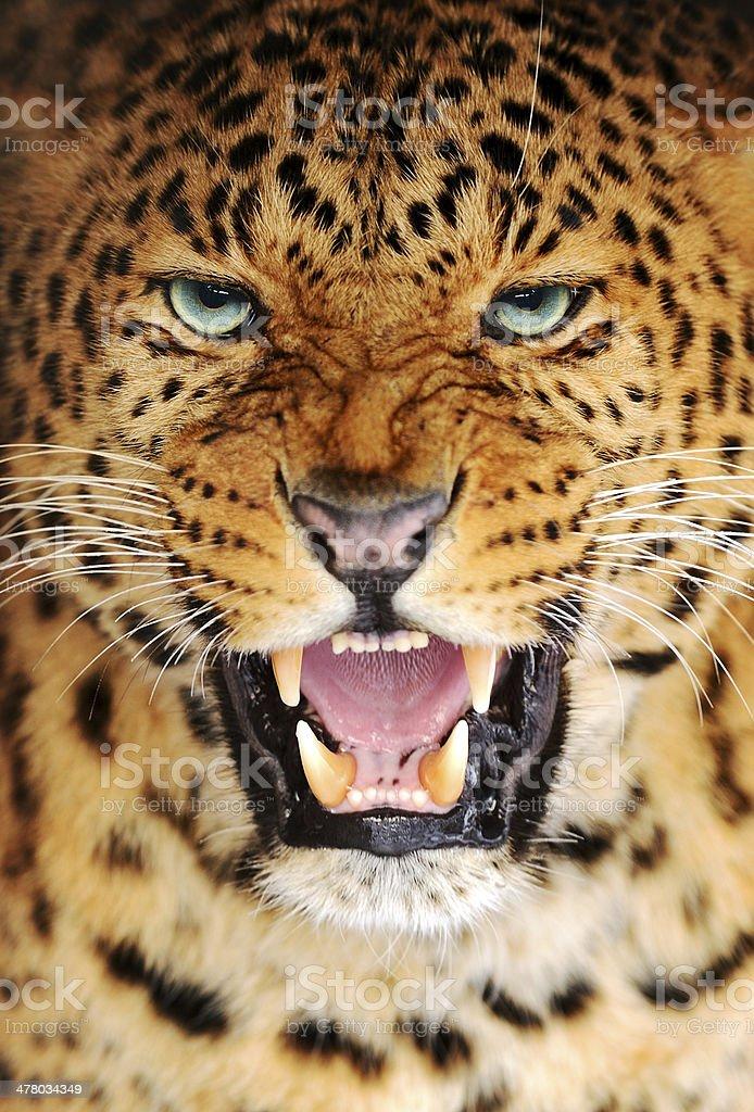 Portrait Leopard royalty-free stock photo