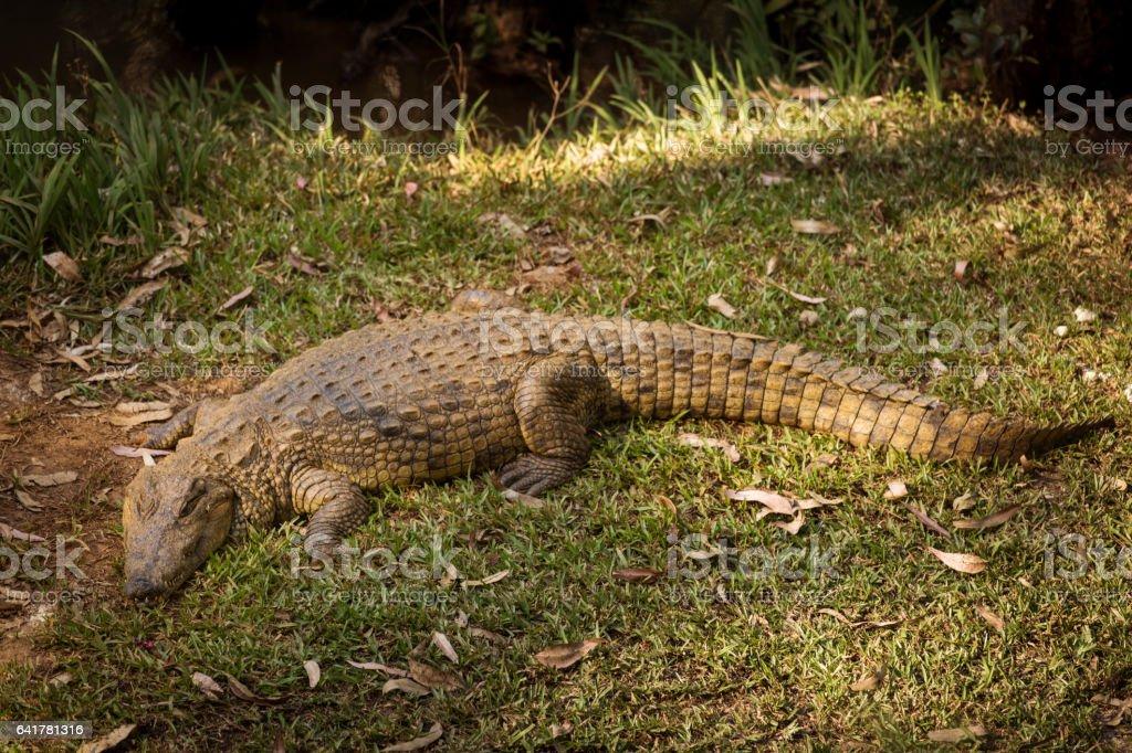 Portrait Madagascar Crocodile, Crocodylus niloticus madagascariensis, Madagascar stock photo