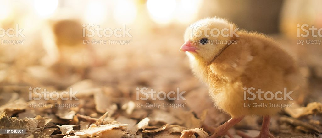 Portrait of a baby chicken stock photo