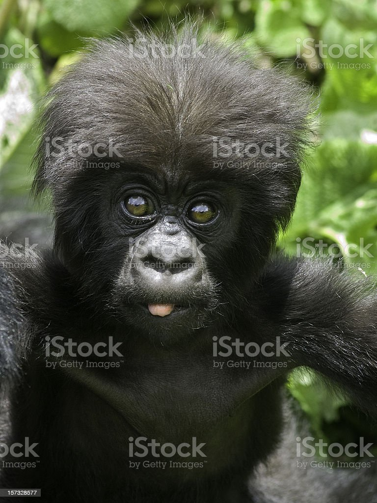 Portrait of a baby gorilla sticking out tongue, in Rwanda royalty-free stock photo