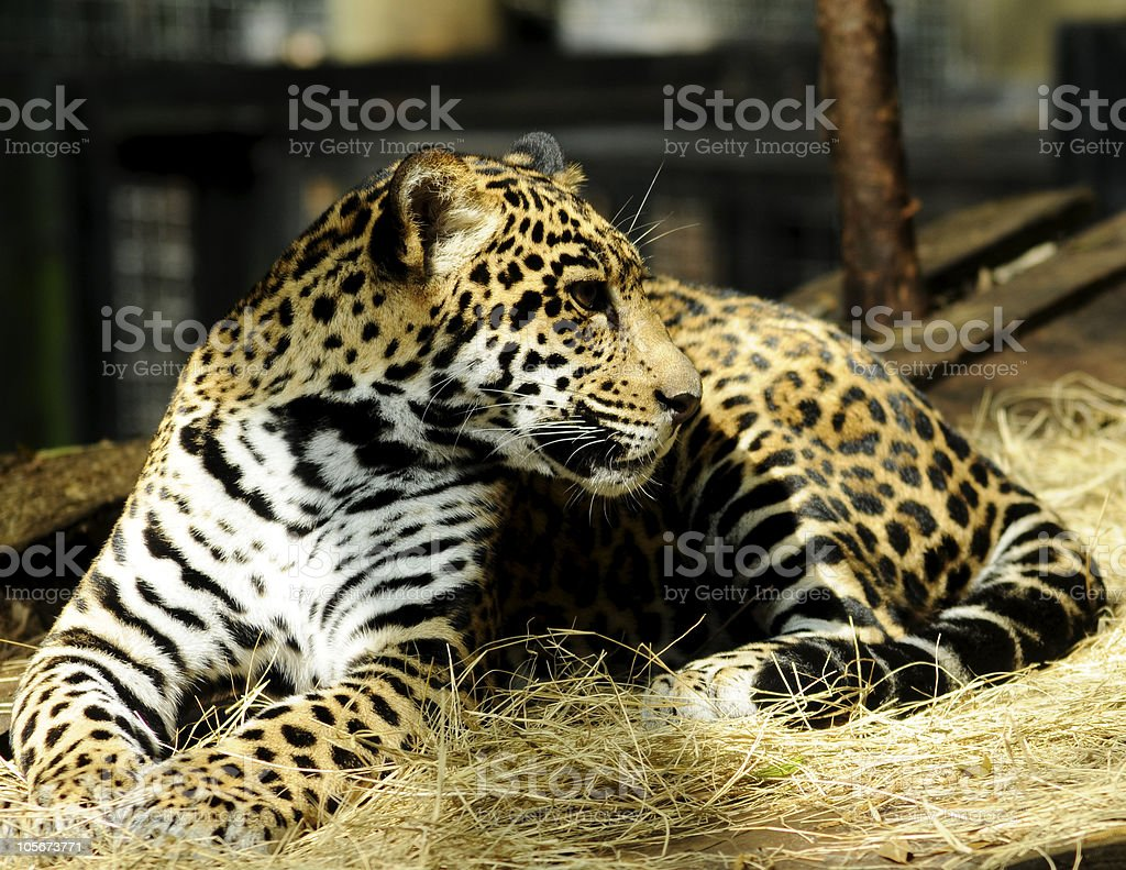 Portrait of a Baby Jaguar Resting royalty-free stock photo
