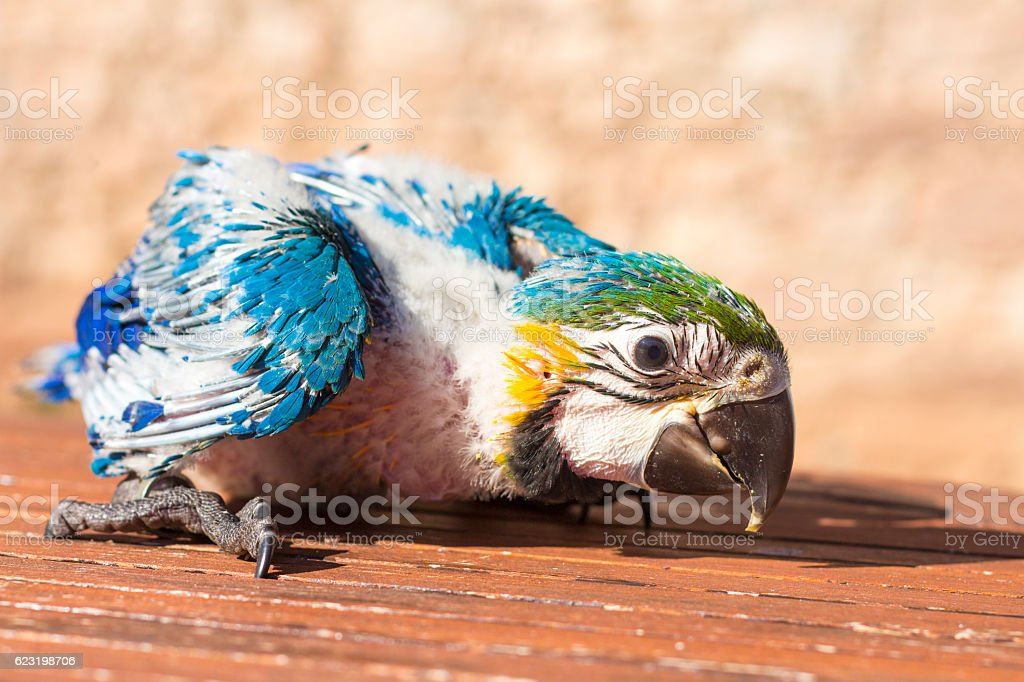 Portrait of a baby macaw stock photo