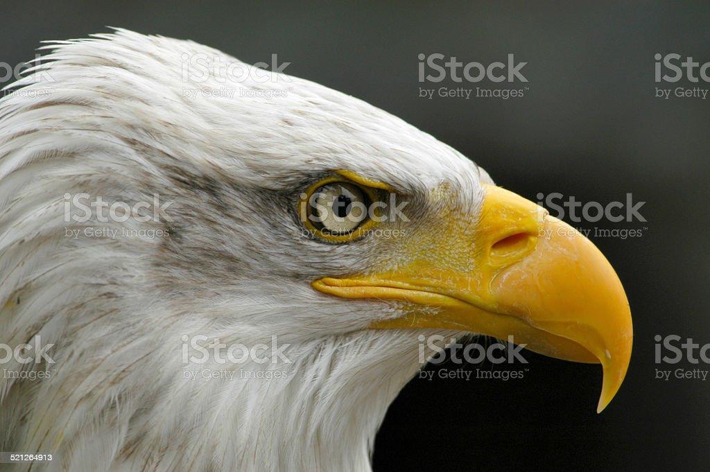 Portrait of a bald eagle. stock photo