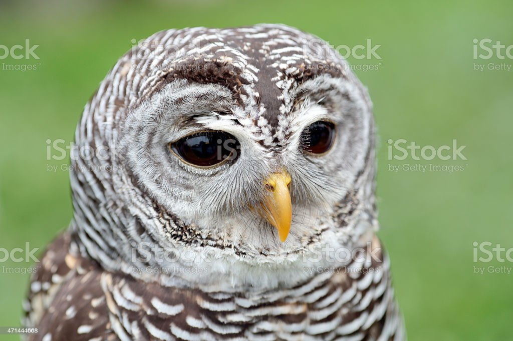 Portrait of a barred owl stock photo