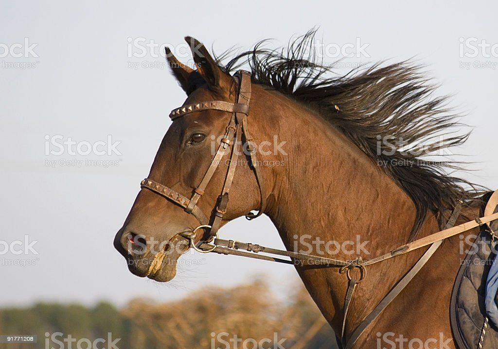 Portrait of a bay horse on gallop. royalty-free stock photo