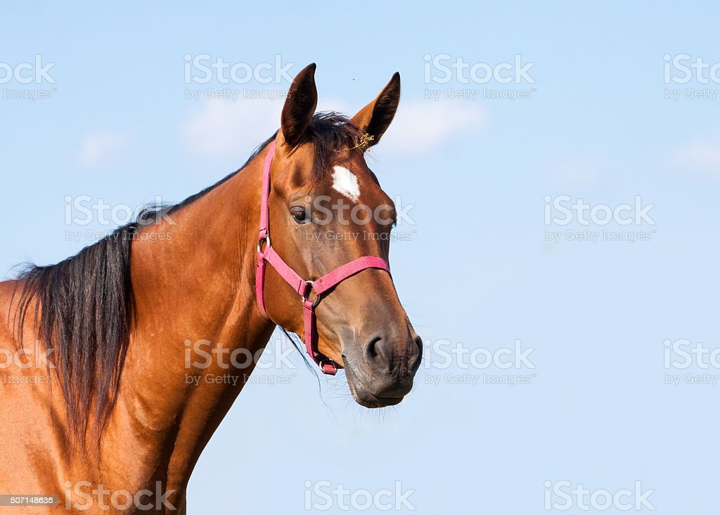 portrait of a bay horse stock photo
