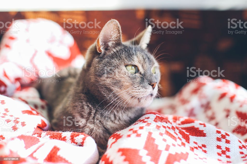 Portrait of a beautiful cat resting on a bed stock photo
