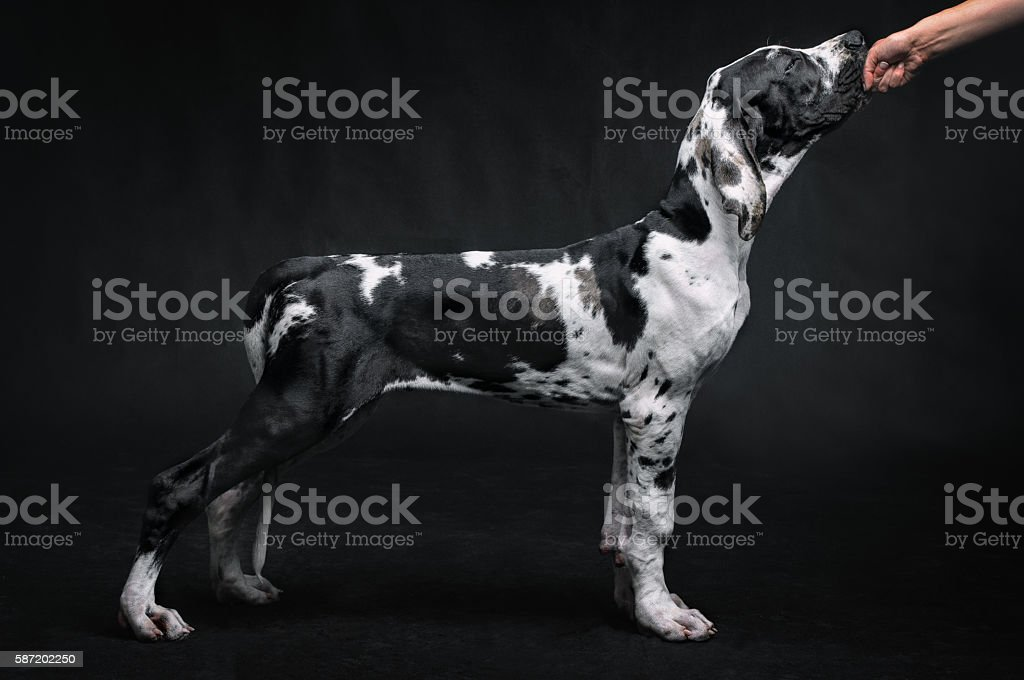 Portrait of a beautiful dog on a black background stock photo