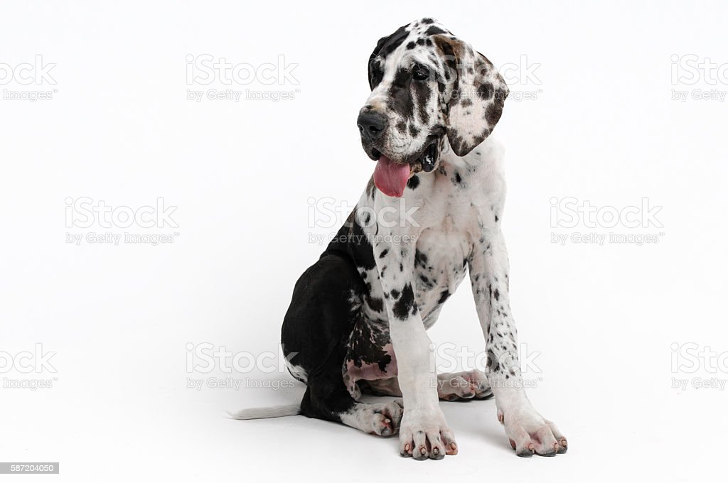 Portrait of a beautiful dog on a white background stock photo