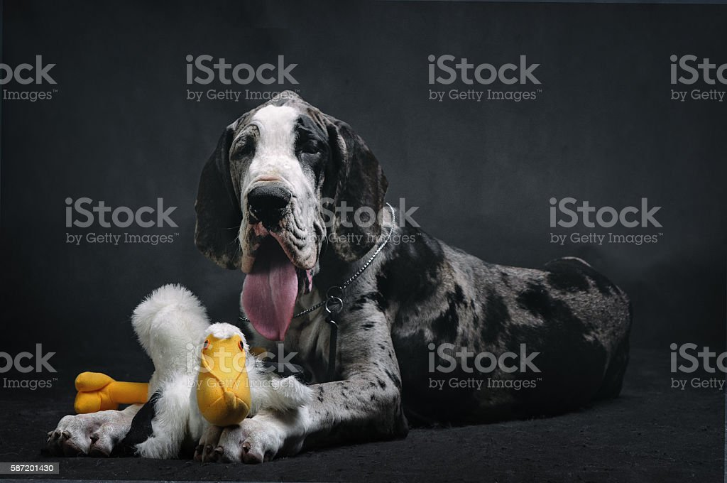 Portrait of a beautiful dog with a toy on a black background stock photo