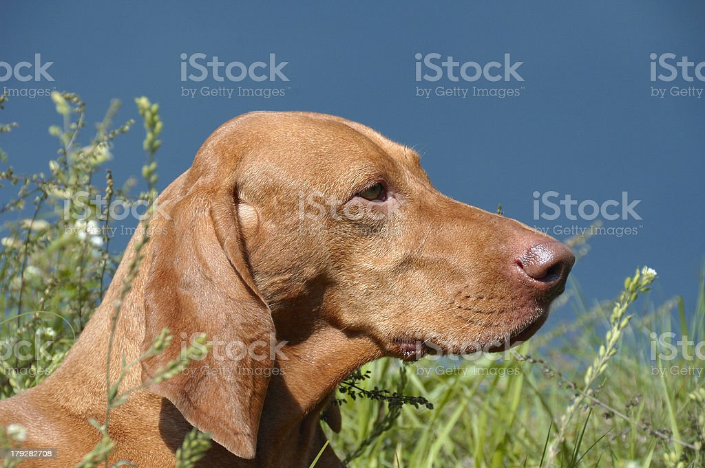 Portrait Of A Beautiful Hungarian Vizsla Dog royalty-free stock photo