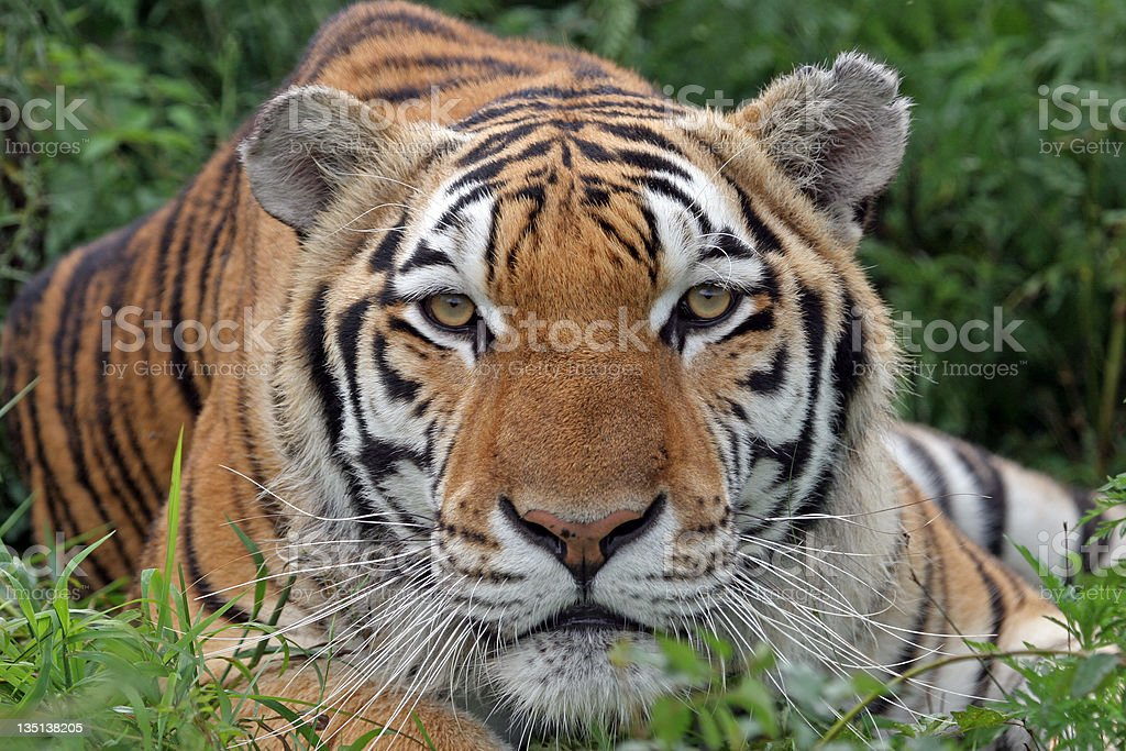 Portrait of a beautiful tiger looking directly at the camera royalty-free stock photo