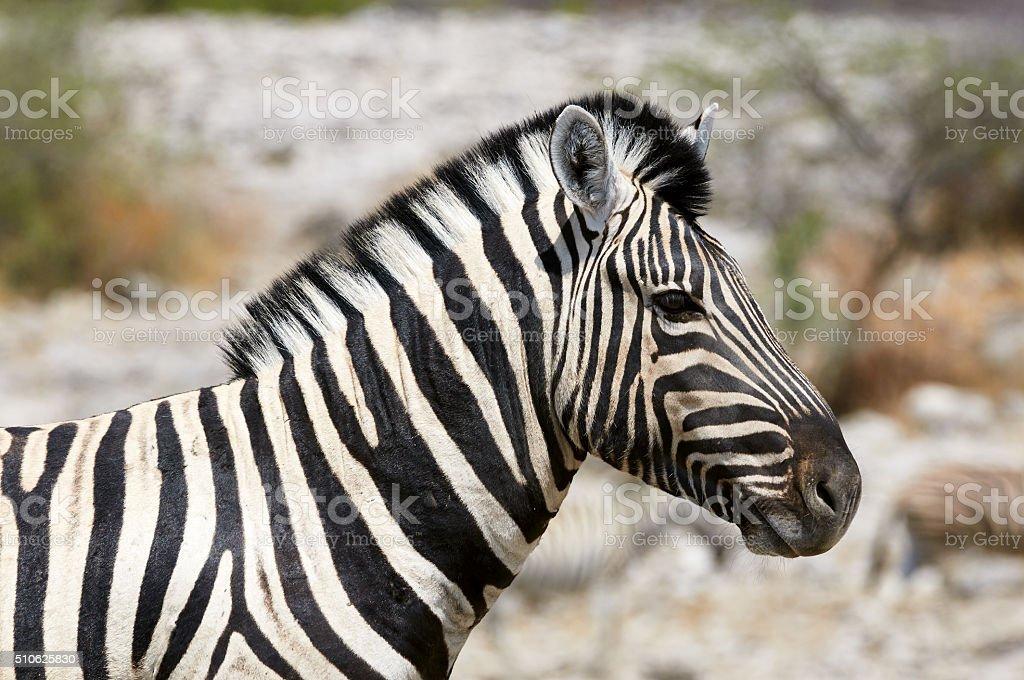 Portrait of a beautiful zebra stock photo