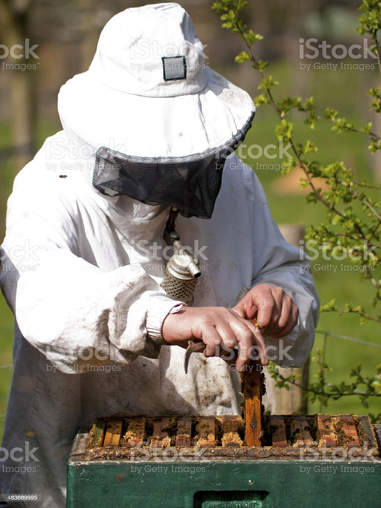 Portrait of a beekeeper  gathering honey royalty-free stock photo