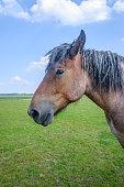Portrait of a Belgian horse standing in a Dutch meadow