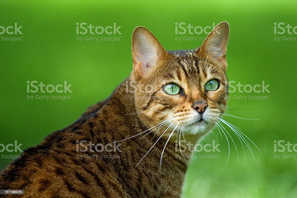 Portrait of a Bengal cat with bright green eyes on grass stock photo