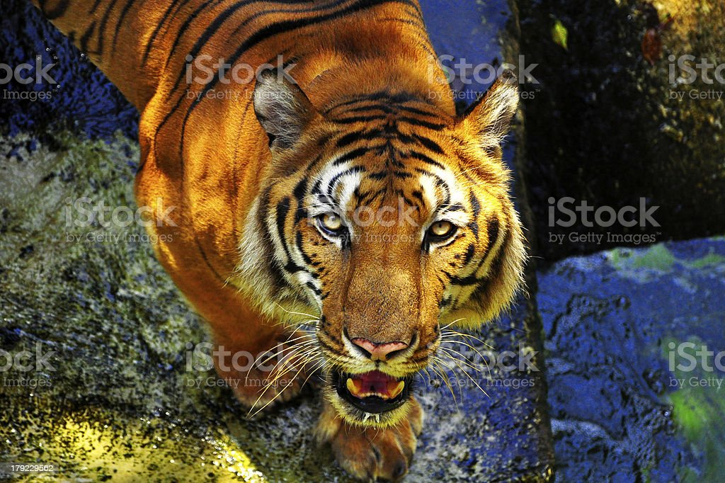 Portrait of a bengal tiger royalty-free stock photo