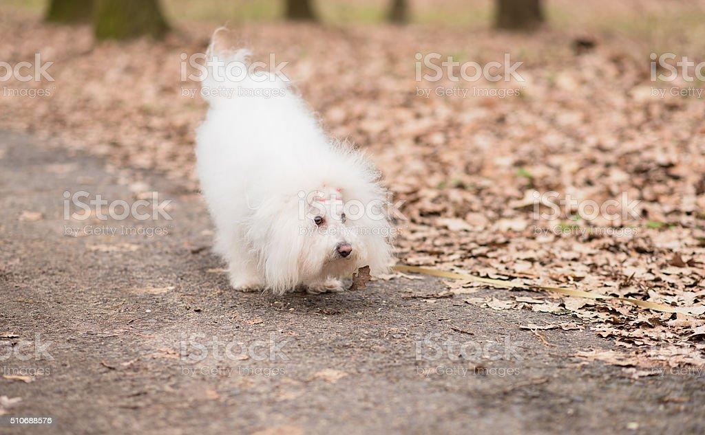 Portrait of a Bichon Havanese dog stock photo