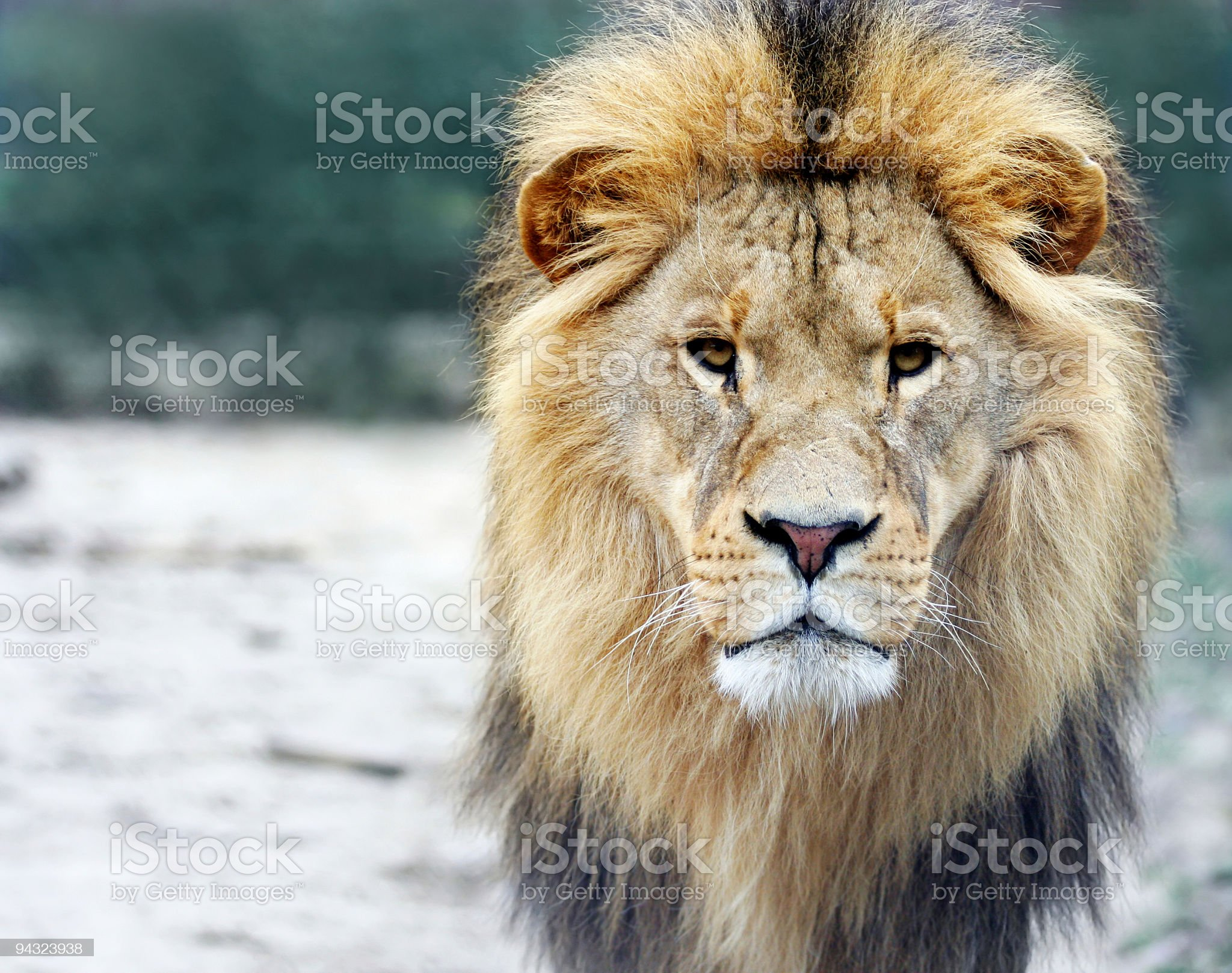 Portrait of a big male lion royalty-free stock photo