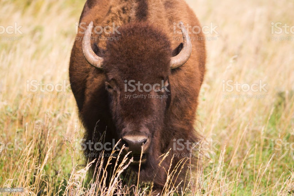 Portrait of a Bison Hz royalty-free stock photo